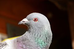 Dove head portrait. Close up from a head of a dove in the sunshine stock images