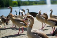 Close up of the head of a duck with a team, group or raft of ducks walking on asphalt of a park, with a pool at the background royalty free stock photography