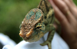 Close-up of the head and the eye of a chameleon. The green and brown reptile is placed on the arm of a person wearing a white clothing. The scene takes place in Stock Photo