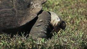 Feeding wild giant tortoise on isla santa cruz in the galapagos stock video