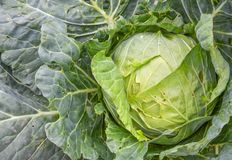 Close up head of fresh cabbage with a lot of leaves in the field Stock Photo