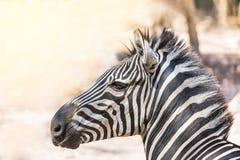 Close up head gf  plains zebra Equus quagga or Burchells zebra Equus burchelli. In the natural Royalty Free Stock Images