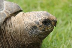Giant Tortoise. Royalty Free Stock Photo
