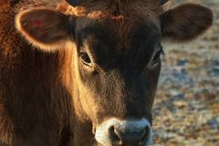 Close up head of ginger cute young bull looking .Young brown calf closeup. Muzzle of a young calf. selective focus on muzzle royalty free stock photos