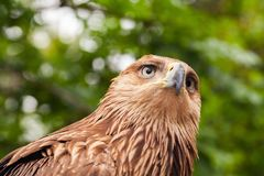 Close-up head of golden eagle. Aquila chrysaetos. It is one of the best-known birds of prey royalty free stock photos