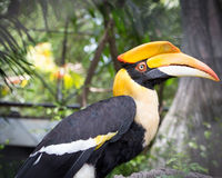 Close up head of Great hornbill Royalty Free Stock Photography