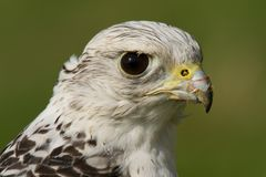 Close-up of head of gyrfalcon after feeding Stock Images