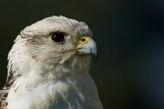 Close-up of head of gyrfalcon in profile Royalty Free Stock Photos