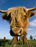 Close up of head of hairy cow. Close-up of a cow of the Scottish Highland breed Stock Images