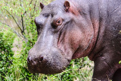 Close up of the head of a Hippo Royalty Free Stock Images