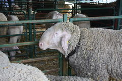 Close up of head and horns of a big sheep.  Royalty Free Stock Photos