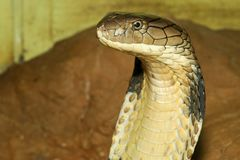 Close up head king cobra is dangerous snake at garden thailand