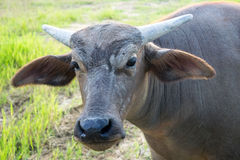 Close up Head Little buffalo it looking camera Stock Image