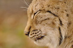 Close up head of Lynx. Stock Image