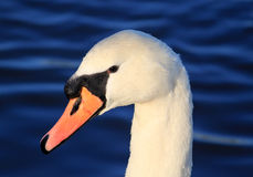 Close up of head of mute swan cygnus olor Royalty Free Stock Photo