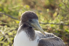 Close-up of the head of a nazca booby. Royalty Free Stock Image
