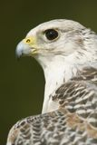 Close-up of head and neck of gyrfalcon Royalty Free Stock Images