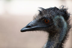 Close-up of head of ostrich Royalty Free Stock Image