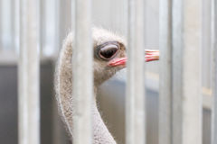 Close-up of head of ostrich Royalty Free Stock Photo