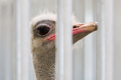 Close-up of head of ostrich Royalty Free Stock Photos