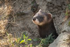 A polecat emerging from hide stock photography