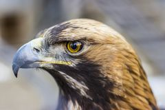 Close up front portrait of Golden eagle. royalty free stock photos