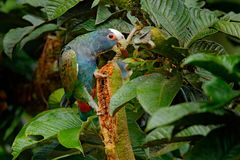 Close-up of head. Portrait of parrot, green leave. Pair of birds, green and grey parrot, White-crowned Pionus, White-capped Parrot stock photo