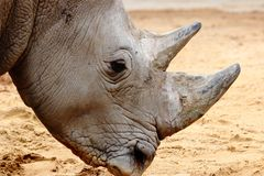 Rhino head close up in zoo in bavaria royalty free stock photography