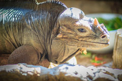 Close up head of Rhinoceros iguana (Cyclura cornuta), also known Stock Photo