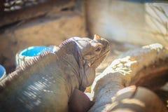 Close up head of Rhinoceros iguana (Cyclura cornuta), also known Royalty Free Stock Image