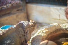Close up head of Rhinoceros iguana (Cyclura cornuta), also known Stock Photos