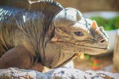Close up head of Rhinoceros iguana (Cyclura cornuta), also known Royalty Free Stock Photography