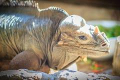 Close up head of Rhinoceros iguana (Cyclura cornuta), also known Royalty Free Stock Images