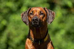 Close-up of the head of a Rhodesian Ridgeback stock image