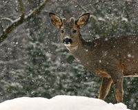 A close-up of the head of a roe deer, Capreolus capreolus male in snowfall royalty free stock images