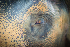 Close up head with sad eye of albino elephant chained. Royalty Free Stock Photography