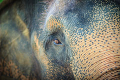 Close up head with sad eye of albino elephant chained. Royalty Free Stock Photos