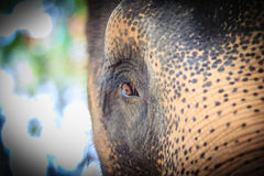 Close up head with sad eye of albino elephant chained. Royalty Free Stock Images