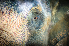 Close up head with sad eye of albino elephant chained. Stock Image