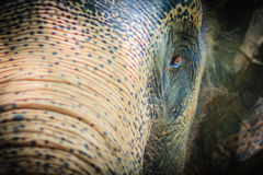 Close up head with sad eye of albino elephant chained. Stock Images