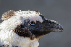 Close up head of a scruffy moulting molting penguin bird. Head of a scruffy moulting molting penguin. Ugly but cute bird in close up profile against plain Stock Photography