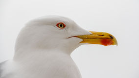 Close-up of the head of a seagull Stock Photography