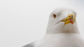 Close-up of the head of a seagull Stock Image