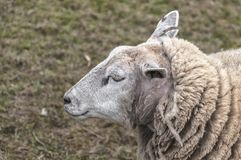 Sheep is in the pasture royalty free stock image