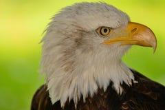 Head shot of a bald eagle. Close up head shot of a bald eagle Royalty Free Stock Photos