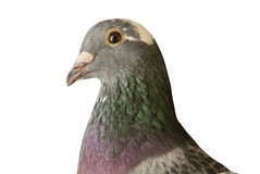 Close up head shot of beautiful speed racing pigeon bird isolate Royalty Free Stock Photos