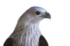 Close up head shot of brahminy kite isolated white background Stock Photography