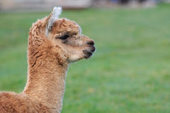 Close up head shot of brown alpaca in green field Stock Images