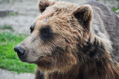 Close up head shot of brown grizzly bear Stock Image