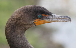 Close-up head shot of a Double-crested Cormorant Stock Images
